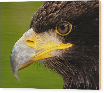 Intense Gaze Of A Golden Eagle Wood Print