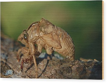 Iowa Cicada Wood Print by Jame Hayes