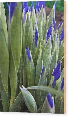 Iris Buds Wood Print by Dina Calvarese