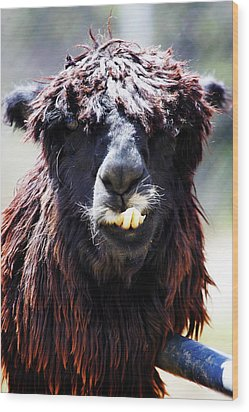 Wood Print featuring the photograph Is Your Mama A Llama? by Anthony Jones