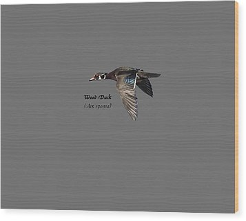 Isolated Wood Duck 2017-1 Wood Print by Thomas Young