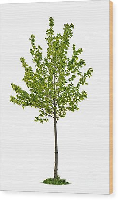 Isolated Young Maple Tree Wood Print by Elena Elisseeva