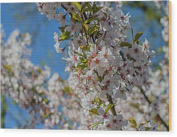 Japanese Cherry  Blossom Wood Print by Daniel Precht
