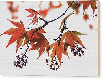 Japanese Maple 2011-2 Wood Print