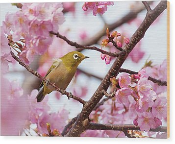 Japanese White-eye On Cherry Blossoms Wood Print by David A. LaSpina