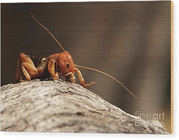 Wood Print featuring the photograph Jerusalem Cricket On Textured Log by Max Allen