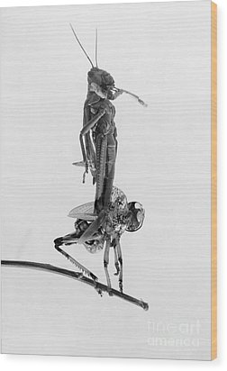 Jerusalem: Locusts, 1915 Wood Print by Granger