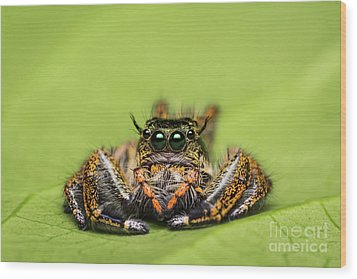 Jumping Spider On Green Leaf. Wood Print by Tosporn Preede