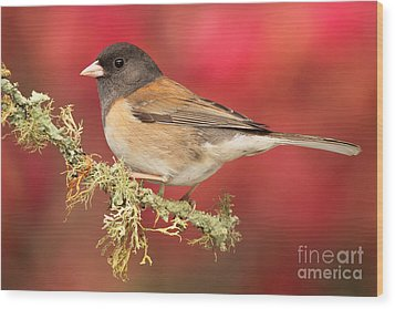 Junco Against Peach Blossoms Wood Print
