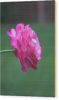 Wood Print featuring the photograph June Rose by Vadim Levin