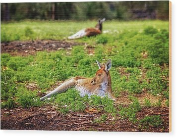 Wood Print featuring the photograph Just Chillin, Yanchep National Park by Dave Catley