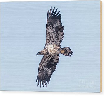 Wood Print featuring the photograph Juvenile Bald Eagle 2017 by Ricky L Jones