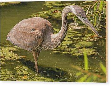 Juvenile Great Blue Heron Wood Print