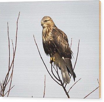 Juvenile Rough-legged Hawk  Wood Print by Ricky L Jones