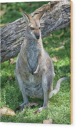 Wood Print featuring the photograph Kangaroo by Patricia Hofmeester