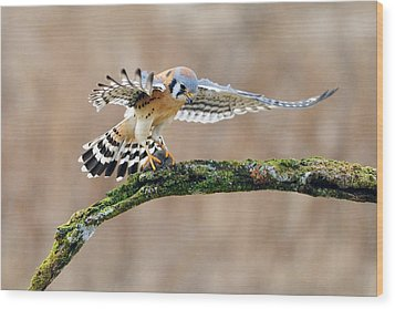 Kestrel Falcon Hunting On The Wing Wood Print by Scott  Linstead