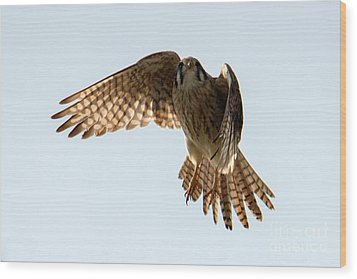 Wood Print featuring the photograph Kestrel Hover by Mike Dawson