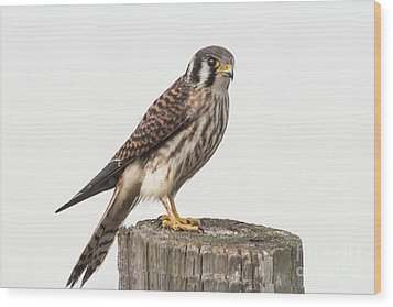 Wood Print featuring the photograph Kestrel Portrait by Robert Frederick
