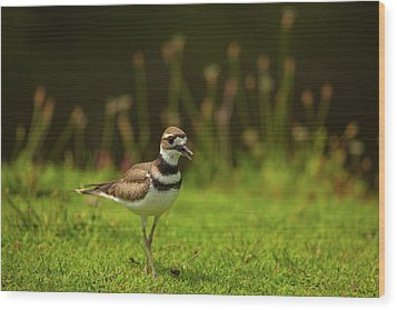 Killdeer Wood Print by Karol Livote