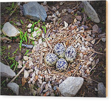 Killdeer Nest Wood Print by Cricket Hackmann