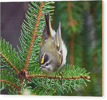 Kinglet In The Pine II Wood Print by CR  Courson