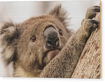 Koala 3 Wood Print by Werner Padarin