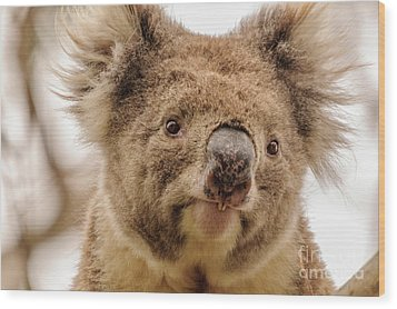 Koala 4 Wood Print by Werner Padarin