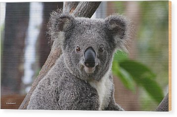 Koala Bear 7 Wood Print by Gary Crockett