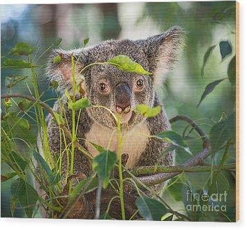 Koala Leaves Wood Print