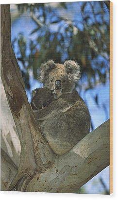 Koala Phascolarctos Cinereus Mother Wood Print by Konrad Wothe