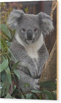 Koala Phascolarctos Cinereus Wood Print