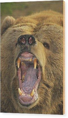 Kodiak Bear Ursus Arctos Middendorffi Wood Print by Matthias Breiter
