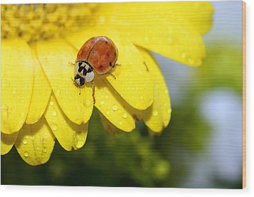 Ladybird Beetle A Ladybug Wood Print by Laura Mountainspring