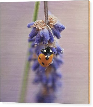 Ladybird On Norfolk Lavender  #norfolk Wood Print