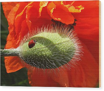 Wood Print featuring the photograph Ladybug On Poppy by Mark Alan Perry