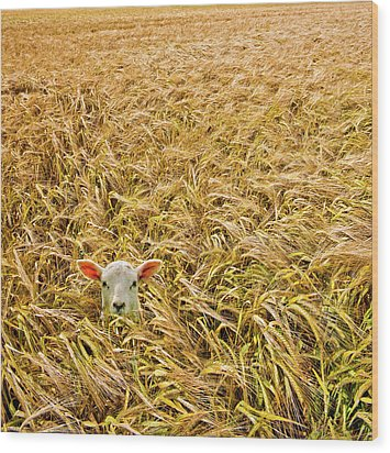 Lamb With Barley Wood Print by Meirion Matthias