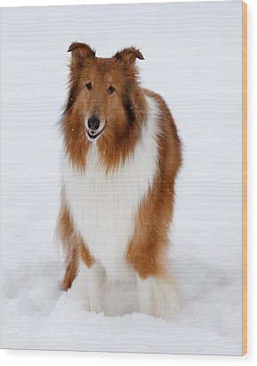 Lassie Enjoying The Snow Wood Print