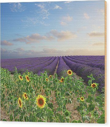 Lavender And Sunflower Flowers Field Wood Print