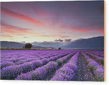 Lavender Season Wood Print