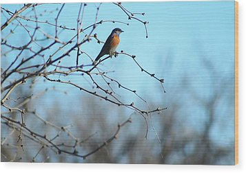 Lazuli Bunting Looks Out Wood Print