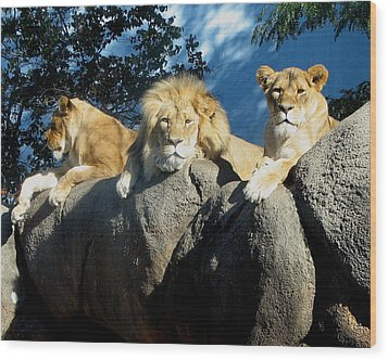 Lazy Day Lions Wood Print