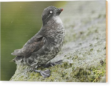 Least Auklet Wood Print