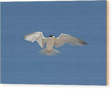 Least Tern 2 Wood Print
