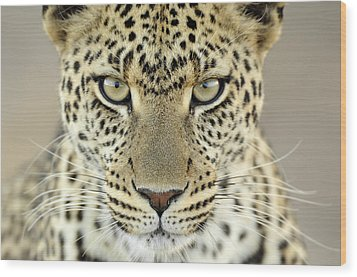 Leopard Panthera Pardus Female Wood Print by Martin Van Lokven