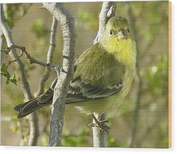 Lesser Goldfinch 1 Wood Print