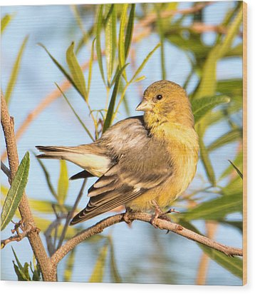 Wood Print featuring the photograph Lesser Goldfinch by Dan McManus