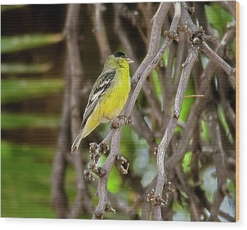 Wood Print featuring the photograph Lesser Goldfinch H57 by Mark Myhaver