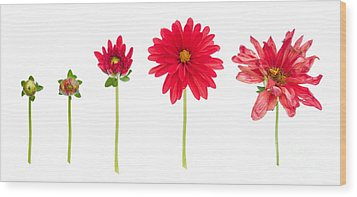 Life And Death Of A Dahlia Wood Print by Meirion Matthias