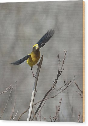 Liftoff-male Evening Grosbeak Wood Print