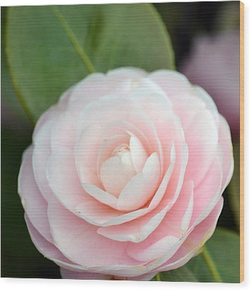 Light Pink Camellia Flower Wood Print by P S